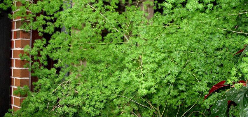 Asparagus myriocaldus