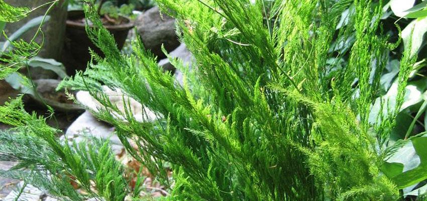 Asparagus pyramidalis