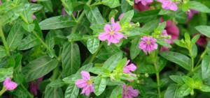 Cuphea Light Purple