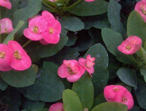 Euphorbia geraldii
