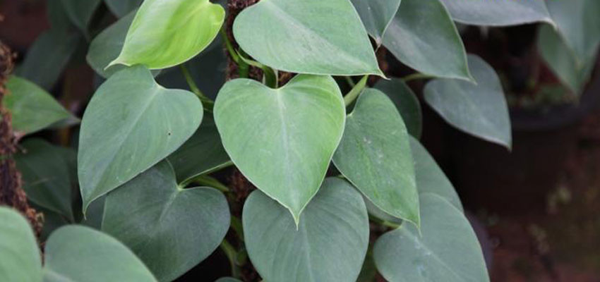 Philodendron pittieri