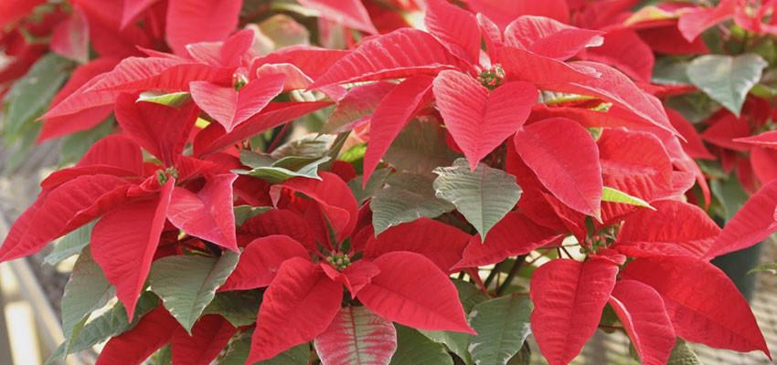 Euphorbia pulcherrima tukai red early