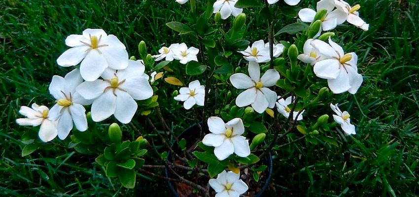 Anant – Gardenia