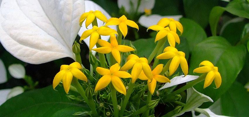 Mussaenda philippica alba