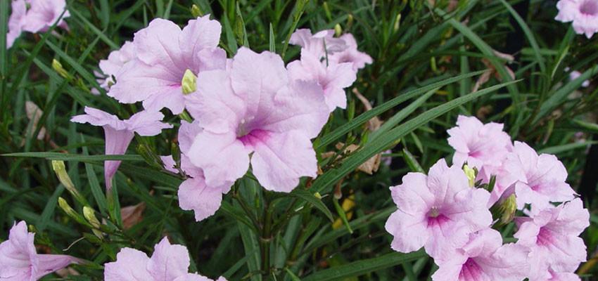 Ruellia brittoniana hybrida