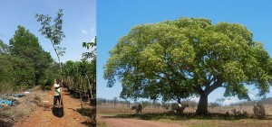Albizzia lebbeck, Mimosa lebbeck