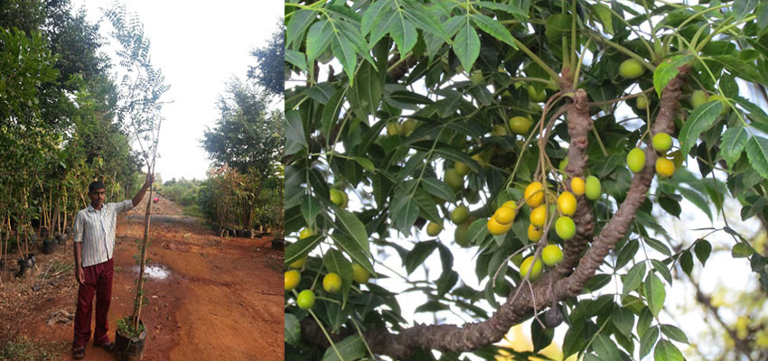 Azadirachta indica variegata