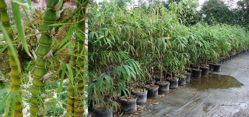 Bambusa ventricosa dwarf