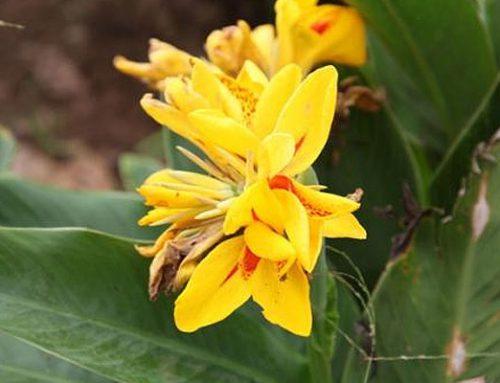 Canna x generalis lineata yellow & orange