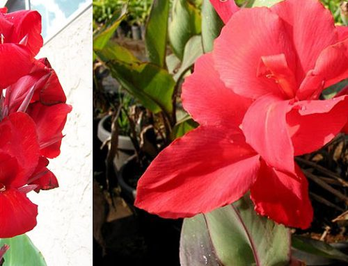Canna x generalis red