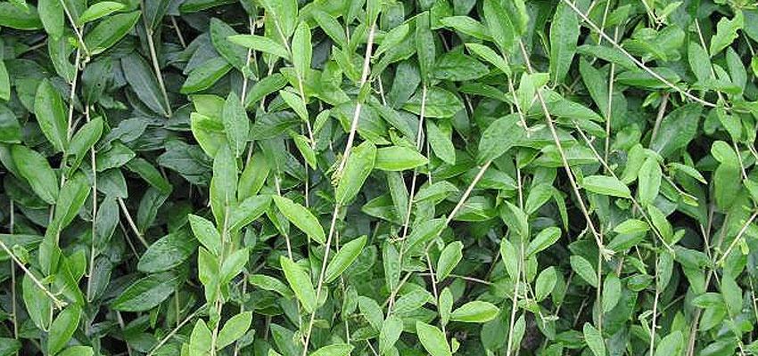Vernonia elaegnifolia