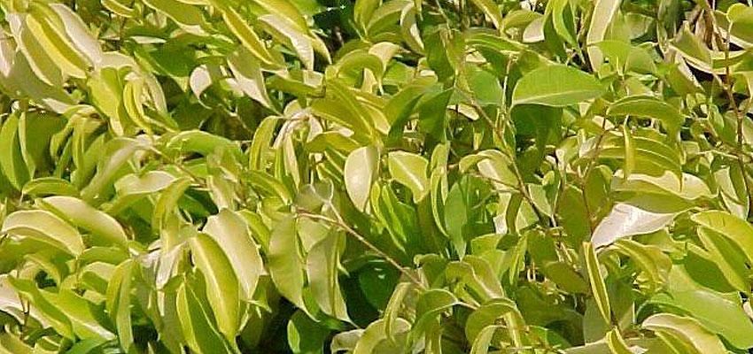 Ficus benjamina prestige