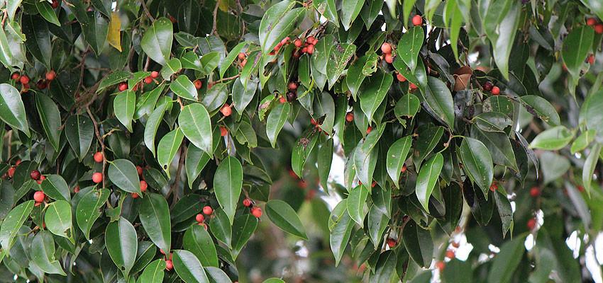 Ficus benjamina nuda