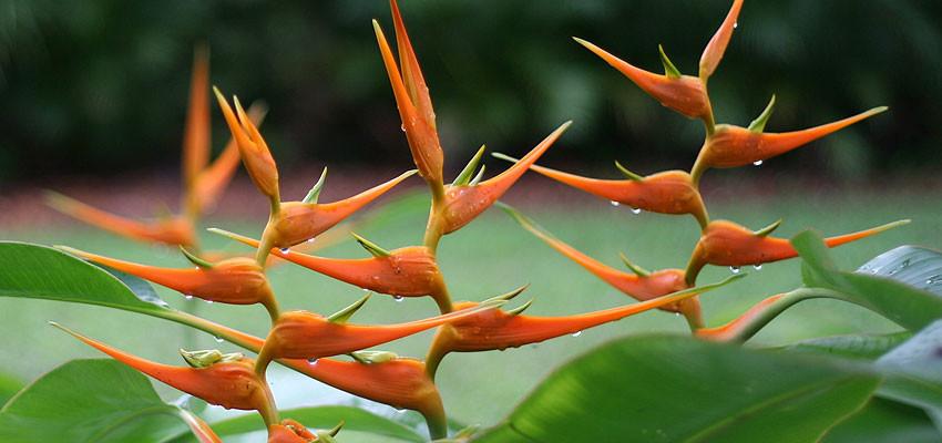 Heliconia latispatha orange gyro