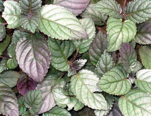 Hemigraphis colorata exotica