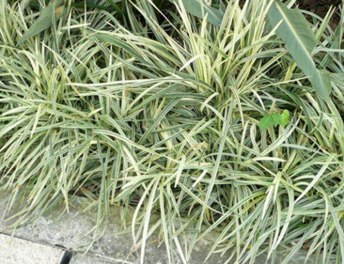 Ophiopogon jaburan variegata