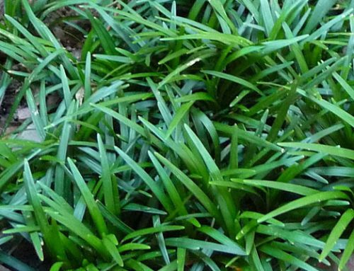 Ophiopogon japonicus