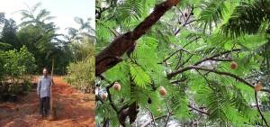 Parkia biglandulasa