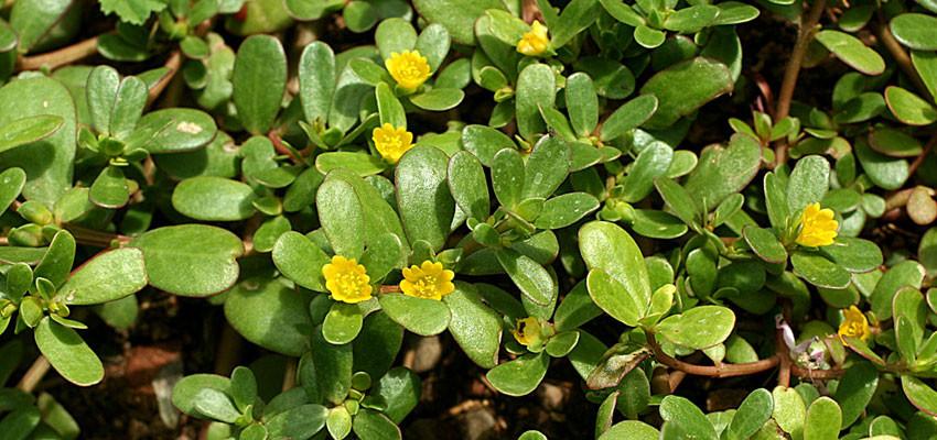 Portulaca olracea yellow