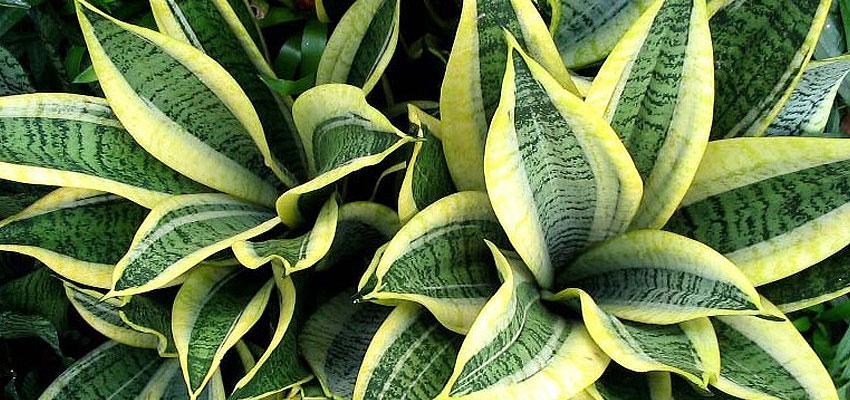 Sansevieria trifasciata golden hahnii