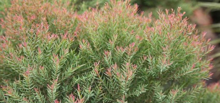 Eucalyptus spathulata red crest