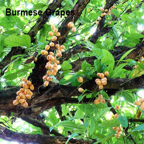 Burmese Grapes