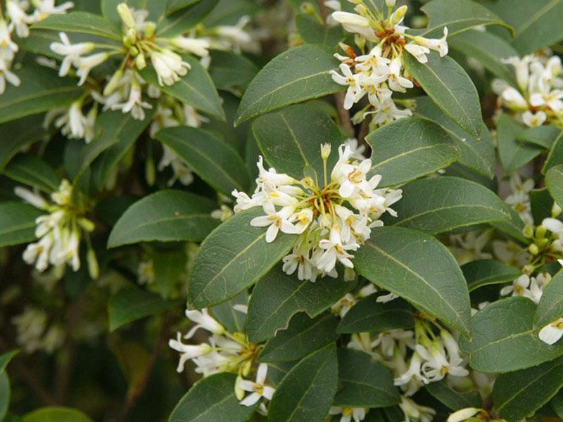 Olive Fragrance