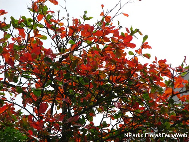 Terminalia Red
