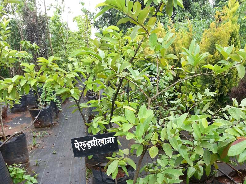 Plant Nursery Wholesale Plant Nursery Landscaping Plants Mature Plants Garden Nursery Readymade Plants Plant Nursery Wholesale Plant Nursery In Maharashtra Karnataka Goa India