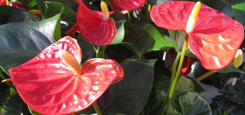 Anthurium andreanum pot plant cultivars