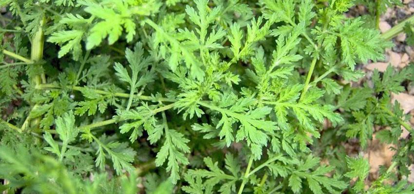 Artemisia pallaris