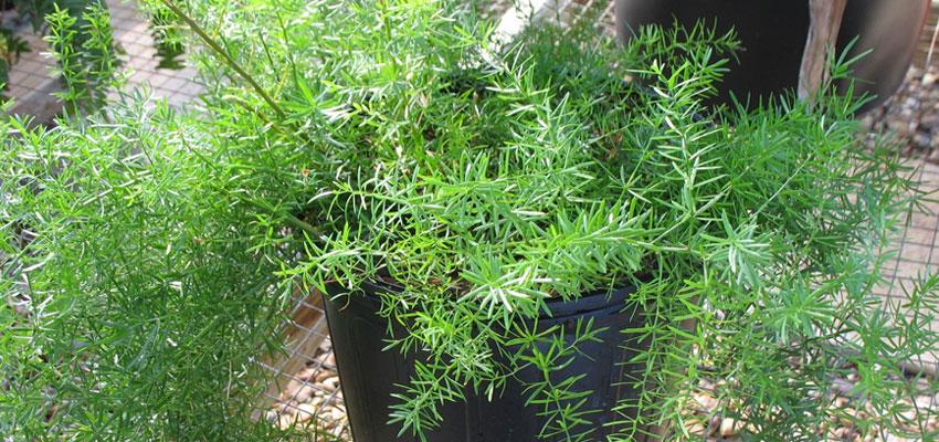 Asparagus sprengerii