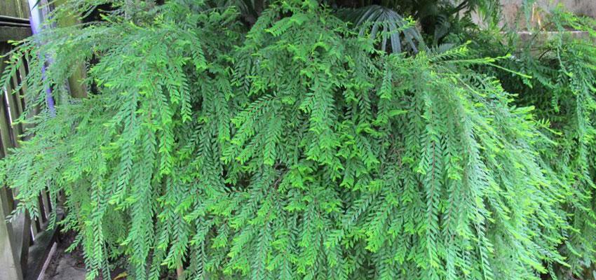 Phyllanthus multiflorus