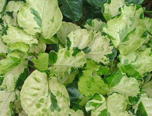 Polyscias balfouriana pennockii
