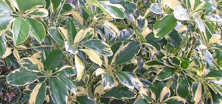 Schefflera arboricola variegata