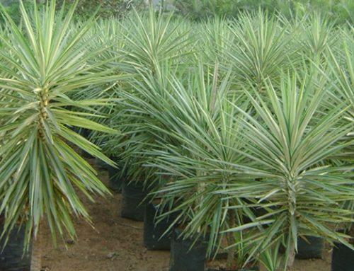Yucca species silver
