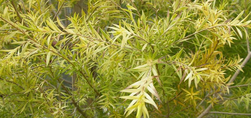 Melaleuca bracteata golden crest