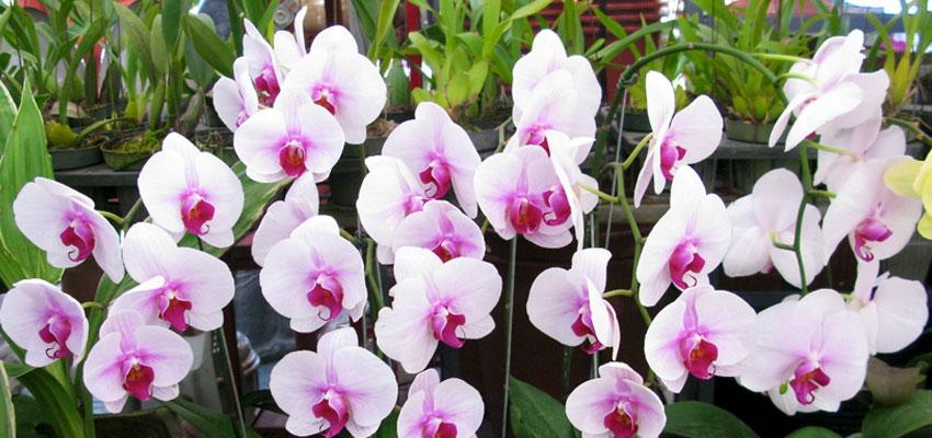 Phalaenopsis hybrids assorted