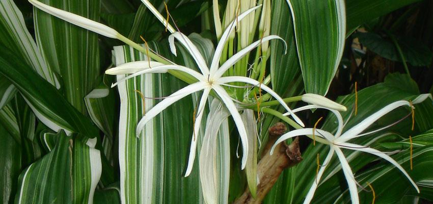 Crinum variegatum
