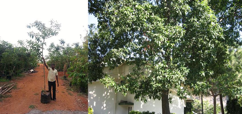 Elaeocarpus ganieras
