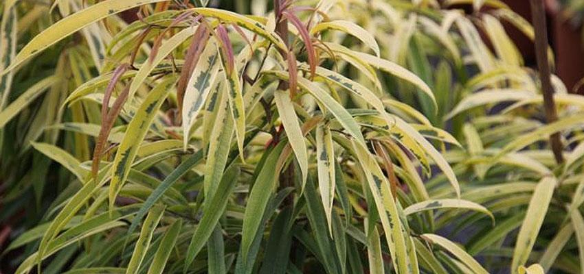 Ficus maccalendii aureum