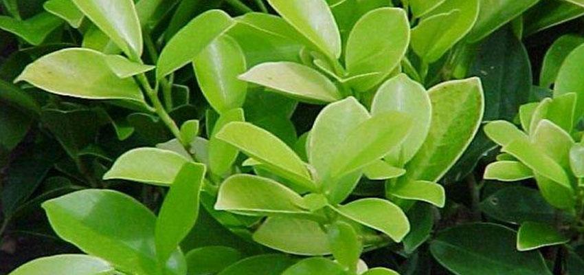 Ficus benjamina panda