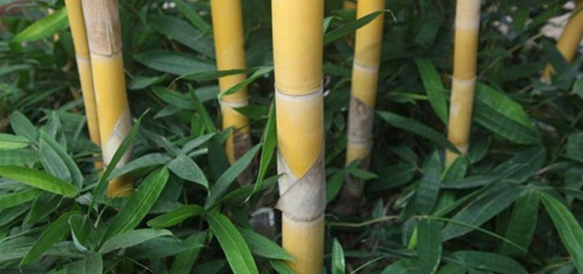 Schizostachyum brachyllum