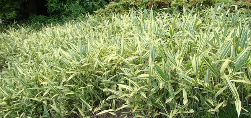 Pogonatherum paniceum variegatum