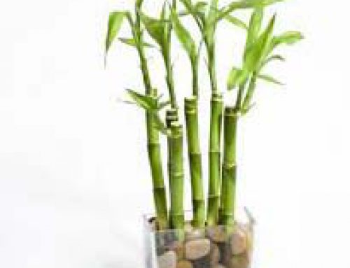 Mini bamboo Grass