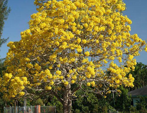 Tabebuia-Chrysantha