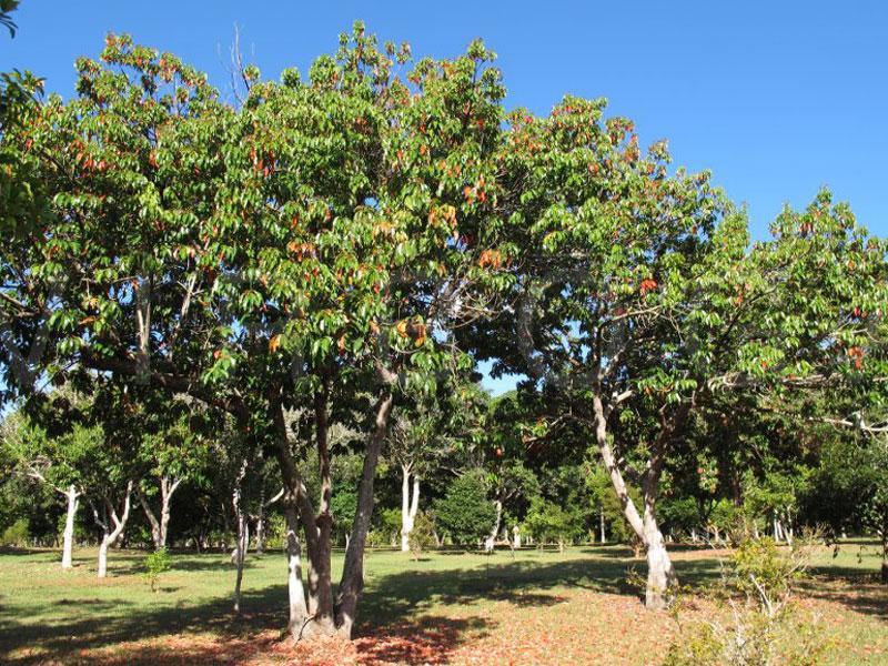 Eliocarpus Serratus