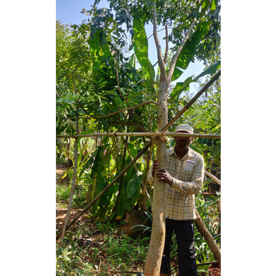 Khaya Senegalensis