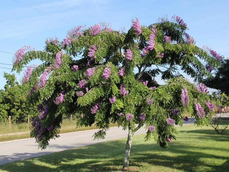 Lonchocarpus Violaceus