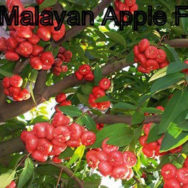 Malayan Apple